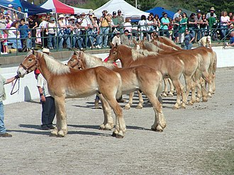 Mule Day - Lineup to be judged at Mule Day
