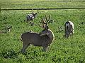 Mule Deer, Washoe Valley, Nevada (21342754485).jpg