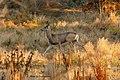 Mule Deer Near Metzger Farm Open Space, Colorado (29587116585).jpg