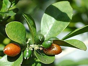 Murraya paniculata - Fruit of M. paniculata