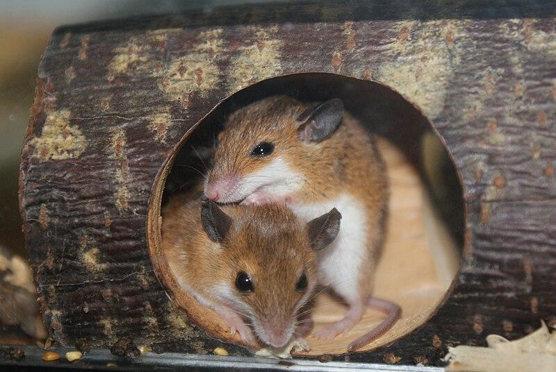 African Pygmy Mice