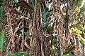 Musa zebrina 0zz.jpg