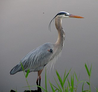 Myakka River State Park - Image: Myakka River Great Blue Heron