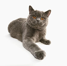 British shorthair de couleur grise.