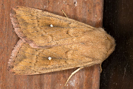 Mythimna albipuncta, Lodz(Poland)04(js).jpg