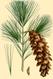 NAS-145g Pinus strobus.png