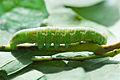Nadata gibbosa larva body.jpg