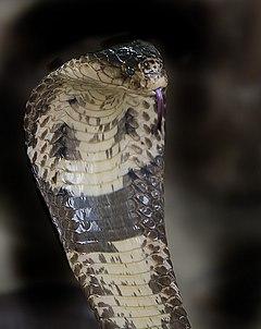 Monocled cobra - Wikipedia, the free encyclopediaNaja Kaouthia Suphanensis