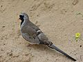Namaqua Dove (Oena capensis) male (6854240098).jpg