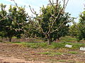 Naranjos y melocotoneros.jpg