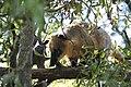 Nasua nasua, Zoo de lille 20101017.jpg