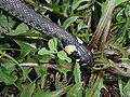 Natrix Natrix head 2009 G2.jpg