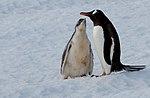 Neko Harbour Antarctica Gentoo Penguin Mum And Baby 2 (46613639714).jpg