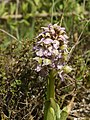 Neotinea lactea (plant).jpg