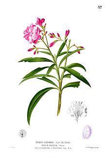 Nerium oleander