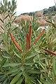 Nerium oleander kz02.jpg