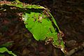 Nest of Weaver Ants (Oecophylla smaragdina) (8677555965).jpg
