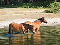 New Forest Ponys in a pond.JPG