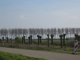 Pollarding - Newly pollarded willow trees between Sluis and Aardenburg in Zeeland