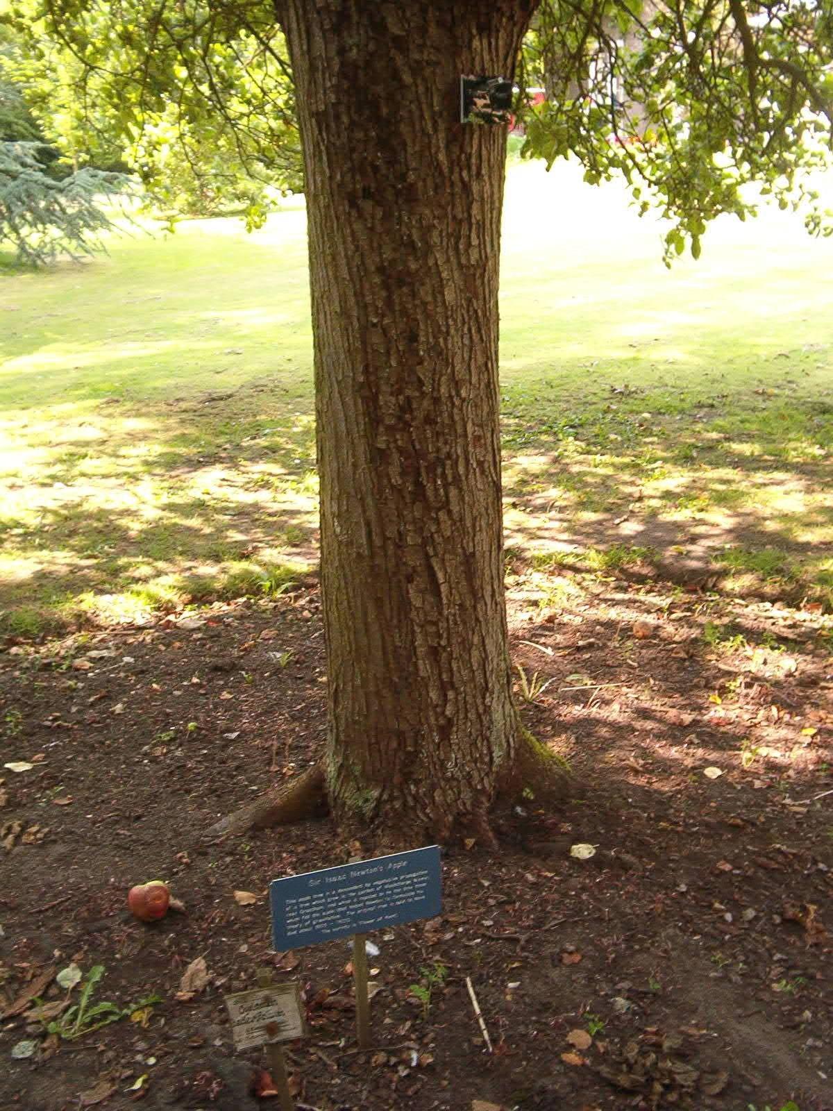Flower of kent wikipedia for Garden trees kent