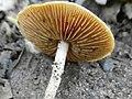 Nieuwegein - IJsselbos - Rafelig breeksteeltje (Pholiotina exannulata) 03.jpg
