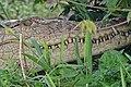 NilevCrocodile.jpg