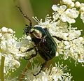 Noble Chafer. Gnorimus nobilis - Flickr - gailhampshire.jpg