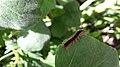 Noordwijk - Lymantria dispar (caterpillar) JIHI 001.jpg