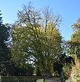 Nordborchen - Hainbuche am Mallinckrodthof im Oktober.jpg