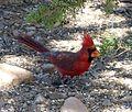 Northern Cardinal. Cardinalis cardinalis - Flickr - gailhampshire.jpg