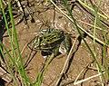 Northern Leopard Frog (5416830942).jpg