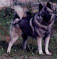 Norwegian Elkhound (female).JPG