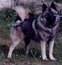Norwegian Elkhound (female).JPG
