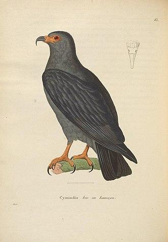 Slender-billed kite - Illustration, 1838