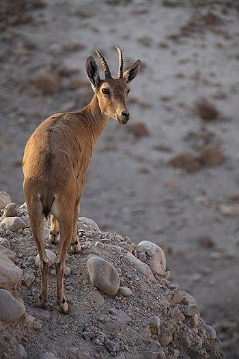 Nubian Ibex (Capra nubiana), Ein Gedi nature reserve, The Judean desert, Israel.jpg