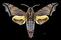 Nyceryx stuarti MHNT CUT 2010 0 198 Guyane française route de l'Est N2 Pk 77 male dorsal.jpg