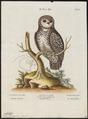 Nyctala funerea - 1700-1880 - Print - Iconographia Zoologica - Special Collections University of Amsterdam - UBA01 IZ18400217.tif
