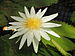 Nymphaea ampla-IMG 3481.jpg