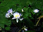 Nymphaea gigantea (details) - Australische Seerose - Botanischer Garten Bonn.jpg