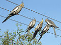 Nymphicus hollandicus -perching on wires -Australia-6a.jpg