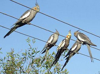 Cockatiel - Wild cockatiels, Australia