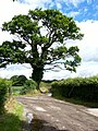 Oak tree - geograph.org.uk - 514299.jpg