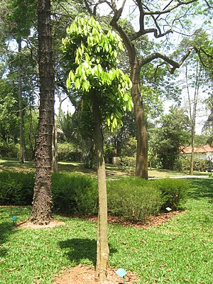 Ocotea odorifera - Image: Ocotea odorifera Jardim Botânico de São Paulo IMG 0329