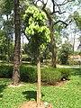 Ocotea odorifera - Jardim Botânico de São Paulo - IMG 0329.jpg