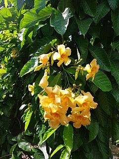 <i>Odontadenia</i> genus of plants