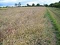Oilseed rape - geograph.org.uk - 884105.jpg