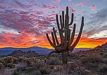 Příklad starého růstu Saguaro Cactus