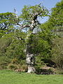 Old oak tree - geograph.org.uk - 429153.jpg