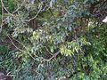 Olea dioica Roxb. (16221944612).jpg