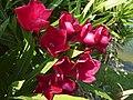 Oleanders at Bay Area Park (4658038930).jpg